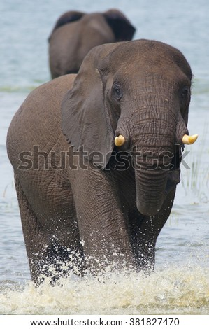 an elephant is seen and runs we encounter wild in Africa - stock photo