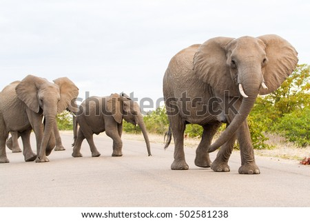 An elephant matriarch leads a herd across the road in Kruger National Park in South Africa