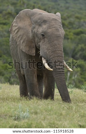 An elephant standing in a field eating some fresh green grass - stock photo