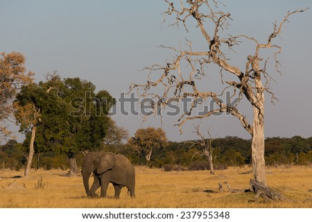 An elephant walking beneath a large bare tree - stock photo