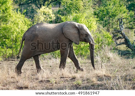 An elephant walking in Kruger National Park