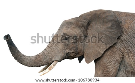 An elephants, isolated on white background