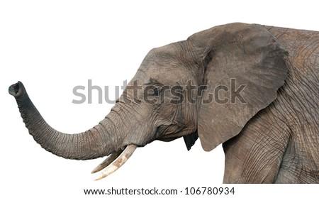 An elephants, isolated on white background - stock photo