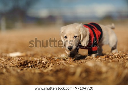 An eleven week old Dachshund puppy walks in wood chips. He looks at the camera and wears a red and black striped sweater. There are wood chips on his nose and sweater.
