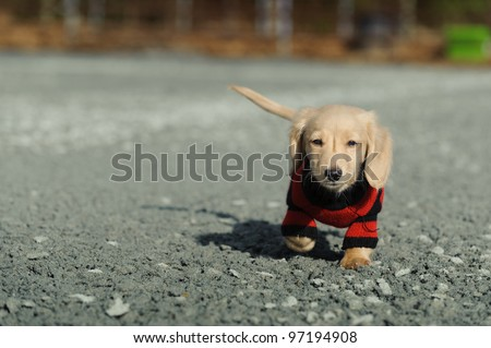 An eleven week old Dachshund puppy walks on loose gravel towards the camera. He is wearing a black and red striped sweater.
