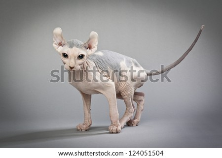 An elf cat with grey patches of skin