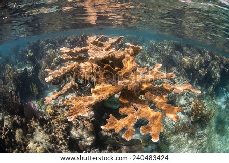 An elk horn coral colony grows in the Caribbean Sea. The tropical region is a popular vacation destination for tourists from all over the world. - stock photo