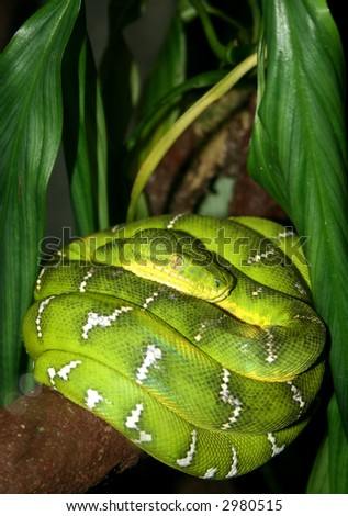 an emerald boa resting in a tree