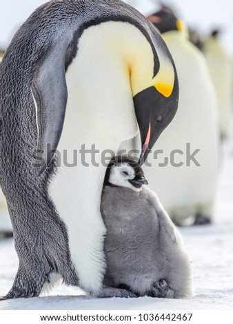 An Emperor Penguin Chick sits in a leaning and relaxed way on the feet of its parent