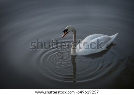 An enchanted swan swimming in moody deep grey water.