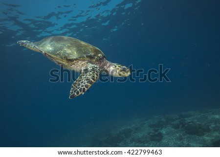An endangered Hawksbill (Eretmochelys imbricata) sea turtle swimming in blue water off the coral reef encrusted Daymaniyet Islands nature reserve off the Arabian sea coast of Oman.