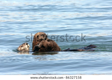An Endangered Sea Otter (Enhydra lutris nereis) and Her Baby Play in the Waters of California - stock photo