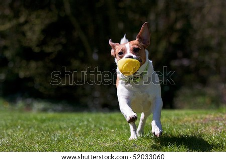 An energetic Jack Russell terrier running towards the camera with a yellow ball in her mouth.