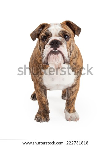 An English Bulldog standing up against a white backdrop and looking straight forward - stock photo