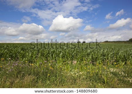an english summer maize crop with colorful wildflowers under a cloudy blue sky in the yorkshire wolds - stock photo