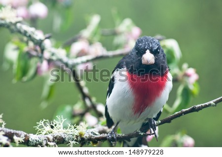 An evening grosbeak sits on an apple branch. His head is wet from a spring shower. - stock photo
