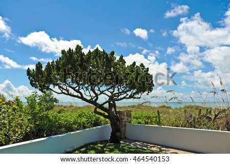 An Evergreen Tree in the corner of a garden on the Beach