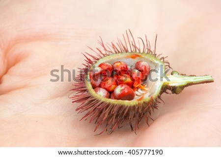 An example of Bixa Orellana fruit, with its seeds used to get natural red teinture, hold in hands - stock photo