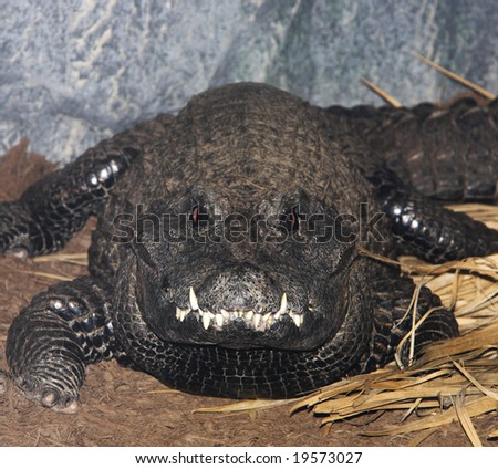An extreme close up of the snout of a West African Dwarf Crocodile. - stock photo