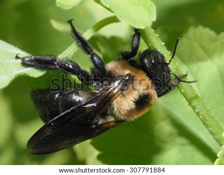 An Extreme Closeup of an American Bumble Bee - stock photo