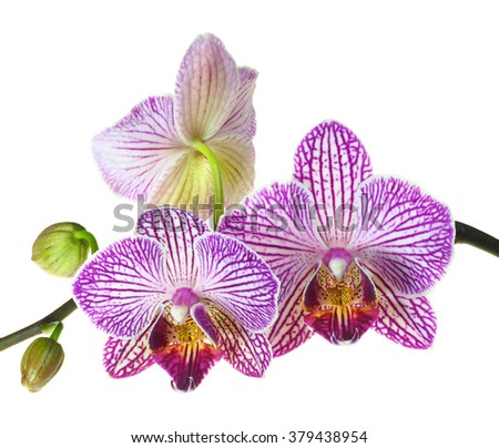 An Extreme Depth of Field Photo of Three Orchids Blooms Isolated on White - stock photo