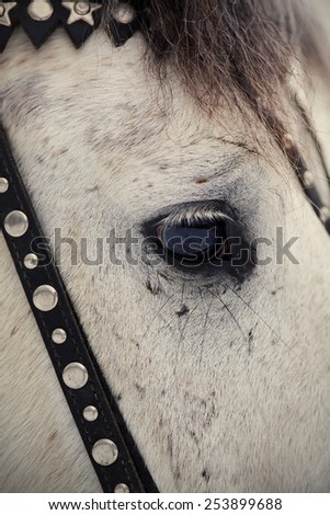 An eye of a white horse in a harness. Muzzle of a horse. Stallion. Portrait of a horse. Thoroughbred horse. Beautiful horse. - stock photo
