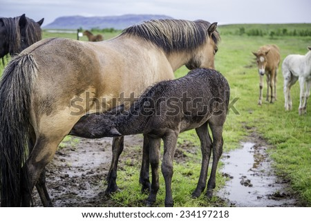 An Icelandic horse with her newborn foal - stock photo