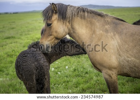 An Icelandic horse with her newborn foal