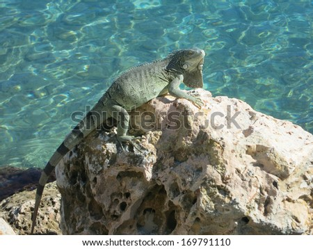An Iguana eyes the camera as he scurries across the coral beach. Bonaire - stock photo