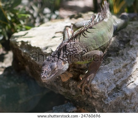 An Iguana (Iguanidae) sunbathing on a rock in its natural habitat.