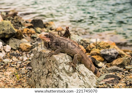 An iguana on rocks at the edge of the sea