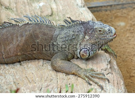 An Iguana poses for its portrait - stock photo