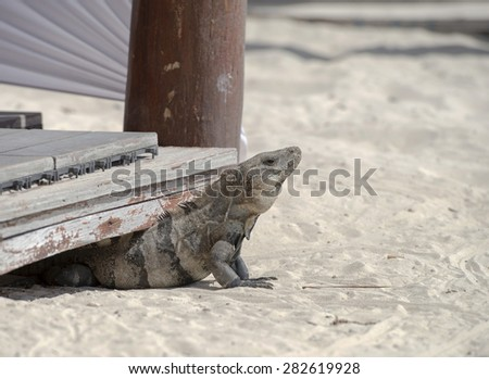 An iguana rests on the beach in Mexico - stock photo