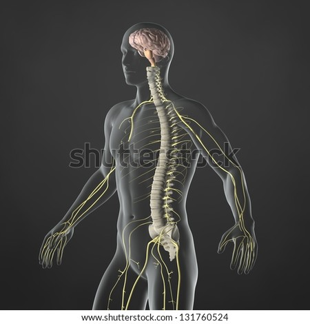 An Illustration of a man's anatomy showing the sympathetic nervous system in an x-ray style. - stock photo