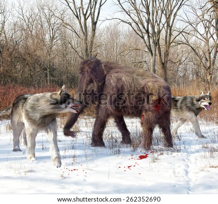 An illustration of Dire Wolves attacking a young Woolly Mammoth. The dire wolf is an extinct carnivorous mammal of the genus Canis, roughly the size of the extant gray wolf, but with a heavier build. - stock photo