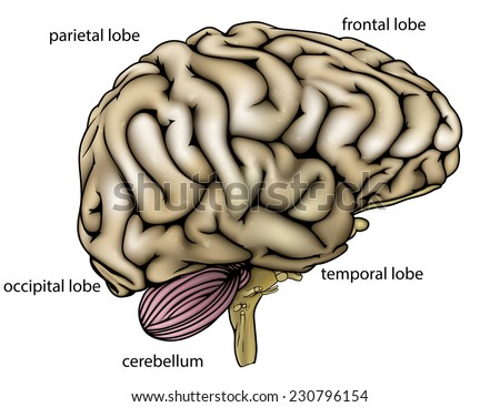 An illustration or anatomy diagram of an anatomically correct human brain from the side with different sections labelled - stock photo