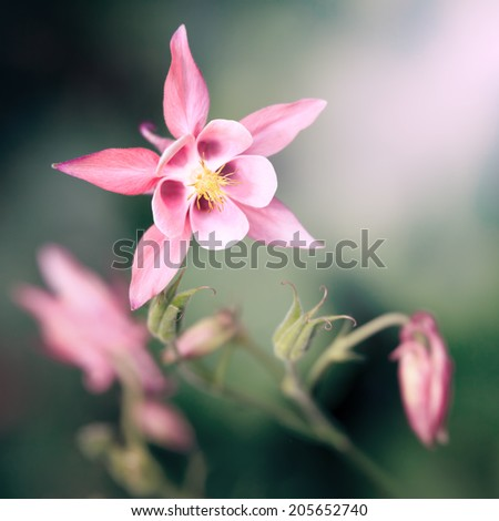 An image of a beautiful pink Aquilegia - stock photo