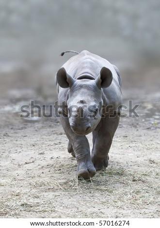 An image of a beautiful young rhino - stock photo