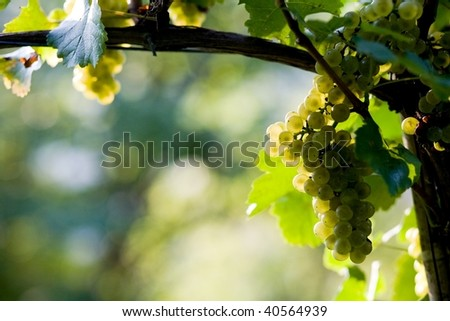 An image of a bunch of white grapes - stock photo