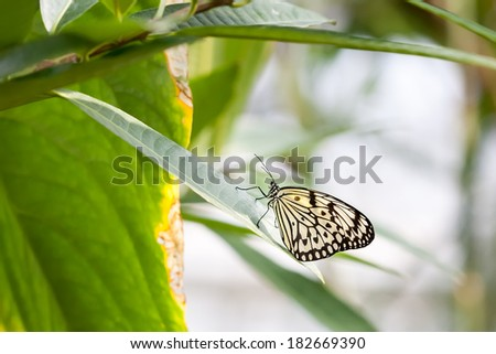 An image of a butterfly black and white - Idea Leuconoe