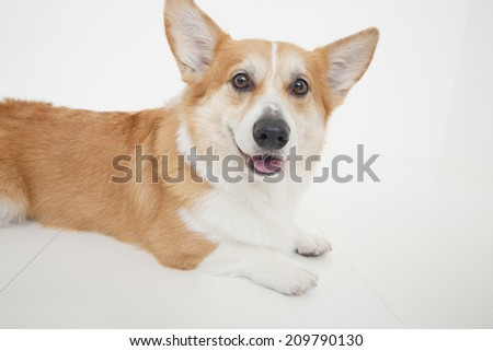 An Image of A Corgi
