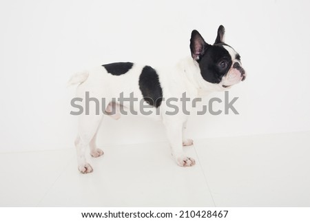 An Image of A French Bulldog