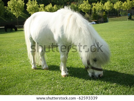 an image of a single white pony - stock photo