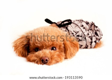 An image of A toy poodle