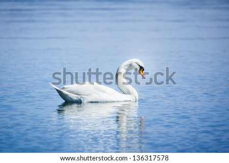An image of a white swan at the lake Starnberg - stock photo