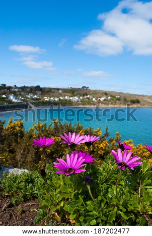 An image of African Daisies and a view of the fishing village, Coverack, in Cornwall in the background.