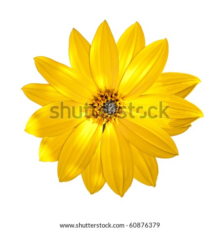 An image of an isolated yellow flower - stock photo