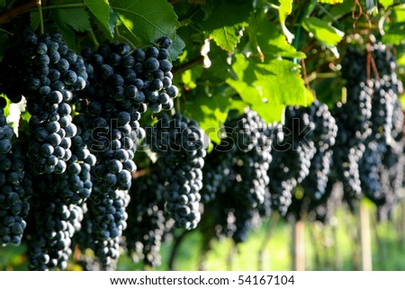 An image of bunches of fresh red grapes - stock photo