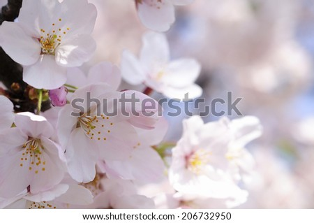 An Image of Cherry Blossoms