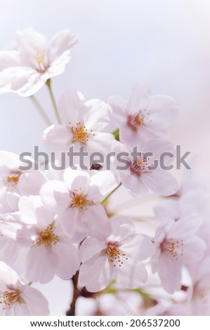 An Image of Cherry Tree
